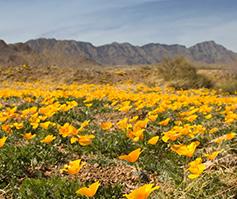 Imagen de flores anaranjadas en un campo