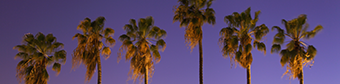 Picture of Palm Trees Night
